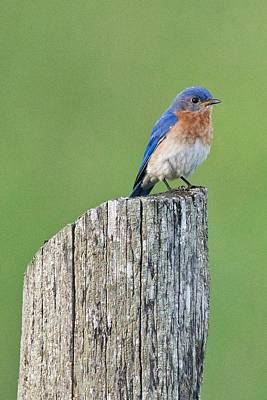 Photograph - Blue Bird On Cedar Post by Michael Peychich