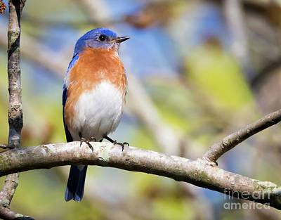 Photograph - Blue Bird by Ricky L Jones