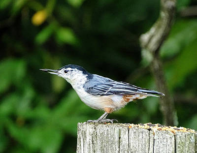 Photograph - White Breasted Nuthatch by Lilia D