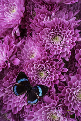 Chrysanthemums Photograph - Blue Black Butterfly by Garry Gay