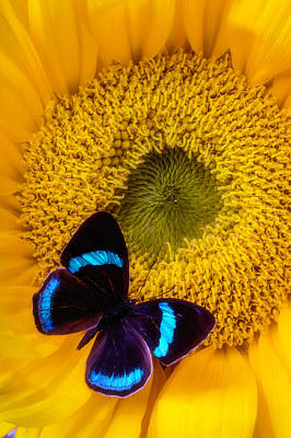 Butterfly Photograph - Blue Black Butterfly On Sunflower by Garry Gay