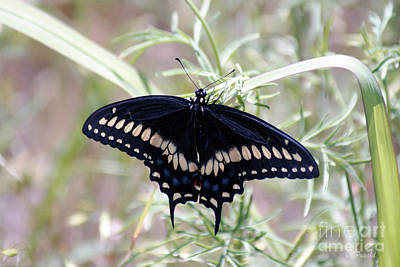 Photograph - Blue Black Swallowtail by Debby Pueschel