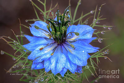 Photograph - Blue Bloom On Weed Plant by Richard J Thompson