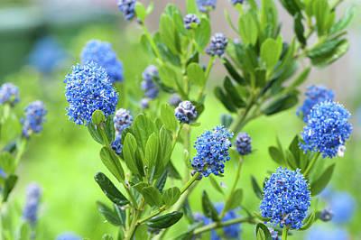 Photograph - Blue Blossom Of Ceanothus Concha Close Up by Jenny Rainbow