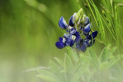 Photograph - Blue Bonnet In The Fog by Diana Mary Sharpton