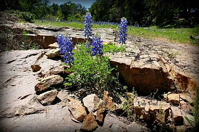 Photograph - Blue Bonnets On The Rocks by Dale Paul