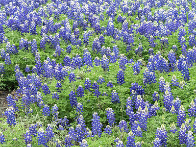 Photograph - Blue Bonnets-state Flower Of Texas. by Usha Peddamatham