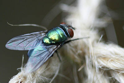 Photograph - Blue Bottle Fly On Garden Twine by Bonnie Boden