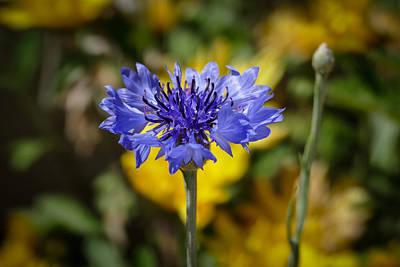 Photograph - Blue Boy by Laurel Powell