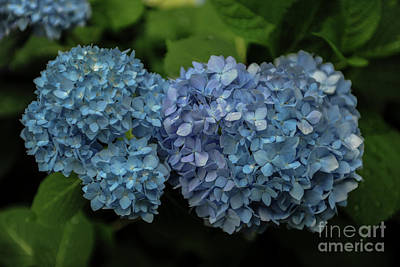 Photograph - Blue Buds by Dale Powell