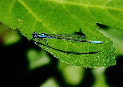 Photograph - Blue Bug Dragonfly by Allen Nice-Webb