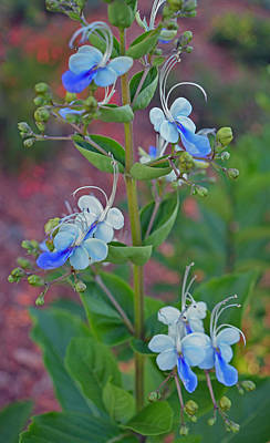 Photograph - Blue Butterfly Bush by Aimee L Maher ALM GALLERY