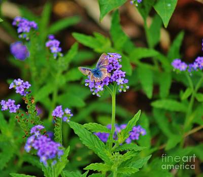 Photograph -  Blue Butterfly by Craig Wood