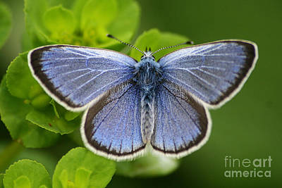 Photograph - Blue Butterfly by Dimitar Hristov