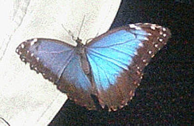 Photograph - Blue Butterfly by Mary J Tait