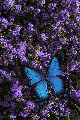 Blue Butterfly On Pink Flowers Art Print by Garry Gay