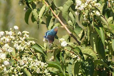 Photograph - Blue Butterfly by Toni Berry