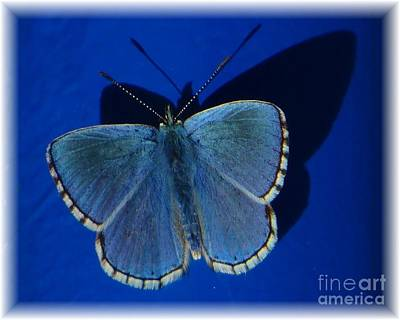 Photograph - Blue Butterfly White Edge by Barbie Corbett-Newmin