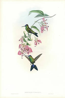 Painting - Blue-capped Puffleg Hummingbird Eriocnemis Glaucopoides by John and Elizabeth Gould