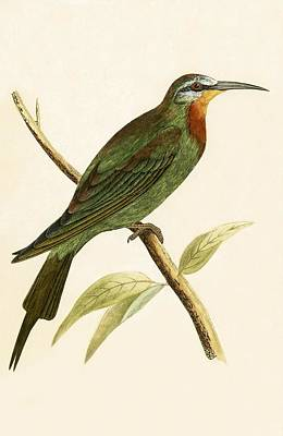 Ornithology Drawing - Blue Cheeked Bee Eater  by English School
