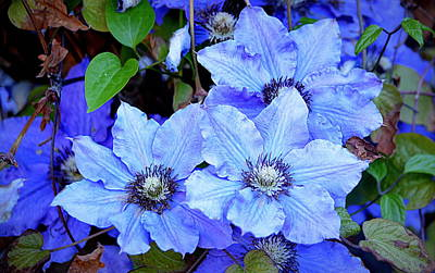 Photograph - Blue Clematis by AJ  Schibig