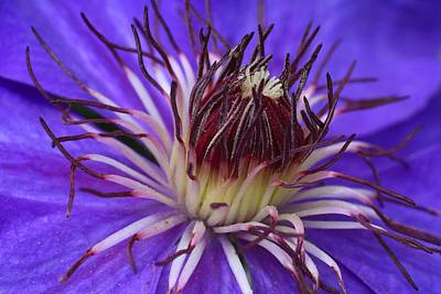 Photograph - Blue Clematis Closeup by Kathryn Meyer