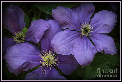 Photograph - Blue Clematis In Full Bloom by Dora Sofia Caputo Photographic Design and Fine Art