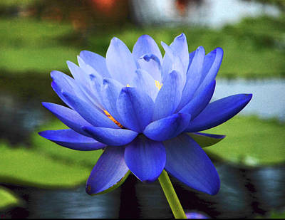 Photograph - Blue Cloud Waterlily by Michael Ziegler