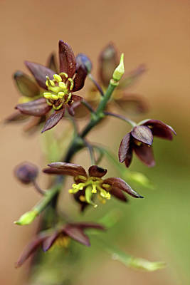 Photograph - Blue Cohosh by Debbie Oppermann