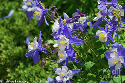 Photograph - Blue Columbine Flowers by Glenn Franco Simmons