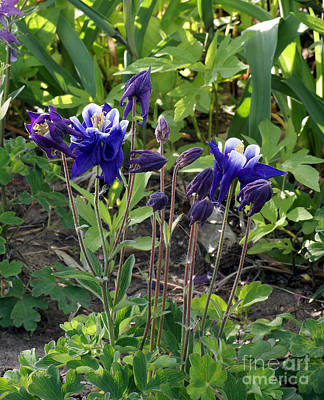 Photograph - Blue Columbine by Rex E Ater