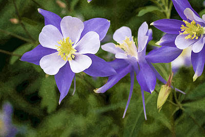Photograph - Blue Columbine Wildflower - Oil Paint by Teri Virbickis