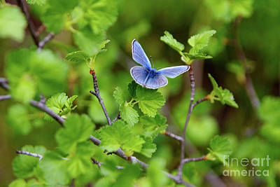 Photograph - Blue Copper Butterfly by Bruce Block