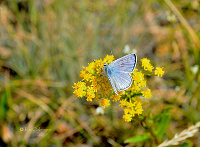 Photograph - Blue Copper Butterfly by Kae Cheatham