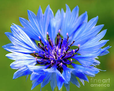 Photograph - Blue Cornflower by Baggieoldboy