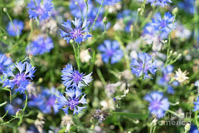 Olympic Sports - Blue Cornflower Field by Anastasy Yarmolovich