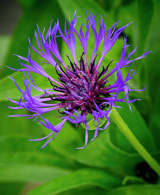 Photograph - Blue Cornflower by Inge Riis McDonald