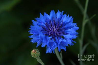 Blue Cornflower Art Print by Marjorie Imbeau