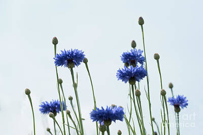 Photograph - Blue Cornflower Sideview by Giovanni Malfitano