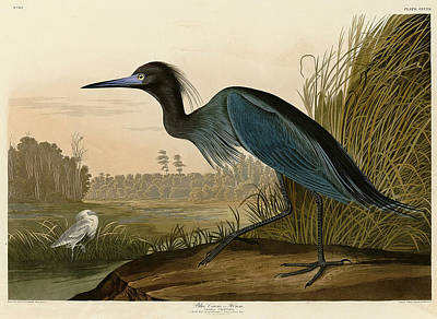 Coloured Painting - Blue Crane Or Heron by John James