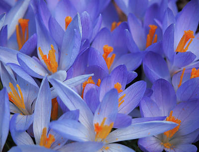 Blue Crocuses Art Print