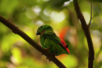 Photograph - Blue-crowned Hanging Parrot 4 by Chris Flees