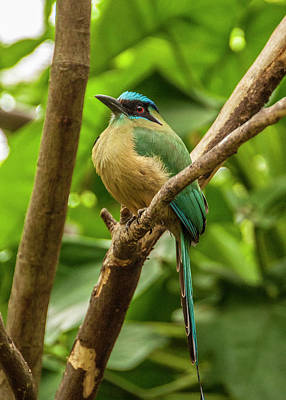 Photograph - Blue-crowned Motmot by Daniel Hebard