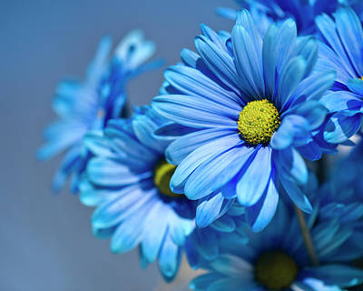 Blue Daisies Art Print by Jody Trappe Photography