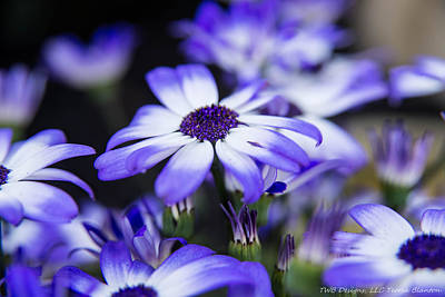 Photograph - Blue Daisies by Teresa Blanton