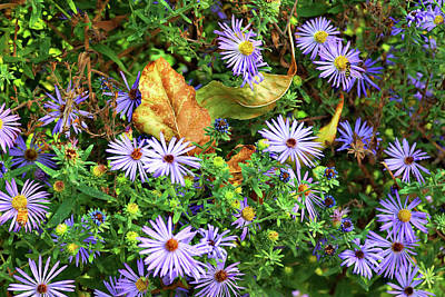 Photograph - Blue Daisy Dance by Cate Franklyn