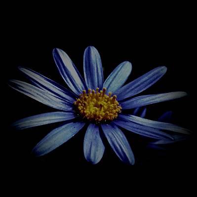 Photograph - Blue Daisy On Black by Lynda Anne Williams