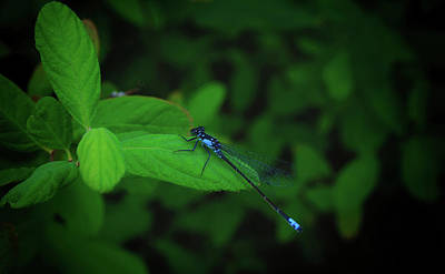 Photograph - Blue Damsel by Tikvah's Hope