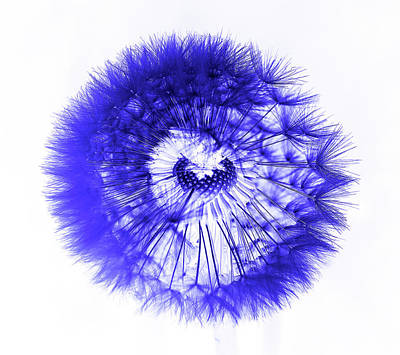 Weed Digital Art - Blue Dandelion by Daniel Hagerman