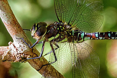 Photograph - Blue Darner by Randy Hall